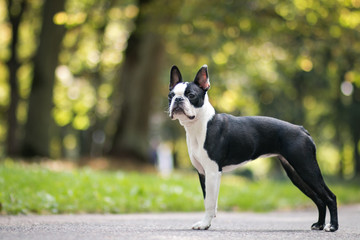 Boston terrier dog posing in city center park. Young boston terrier