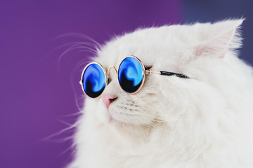 Close portrait of white furry cat in fashion sunglasses. Studio photo. Luxurious domestic kitty in glasses poses on purple background wall Wall mural