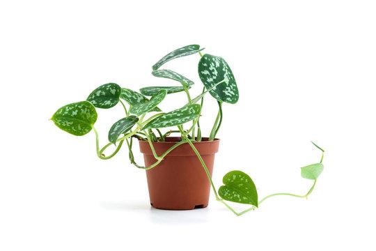 Scindapsus pictus plant in flower pot