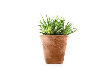 Haworthia fasciata succulent plant in flower pot