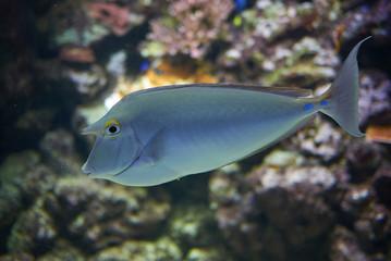 Obraz View of a bluespine unicornfish - fototapety do salonu