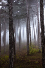 deep forest on misty morning