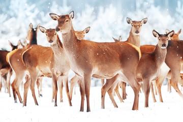 Wall Mural - Group of beautiful female graceful deer in a snowy winter forest. Noble deer (Cervus elaphus). Winter wonderland. Christmas postcard.