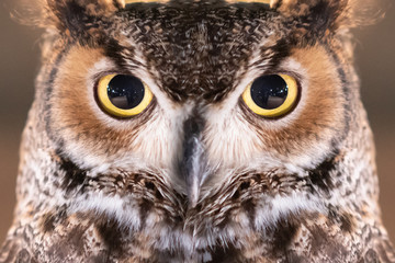 Close-up on Great Horned Owl Face and Eye Wall mural