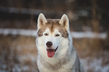 Close-up portrait of gorgeous siberian Husky dog sitting in winter forest at sunset.