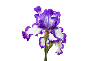 beautiful flower iris isolated