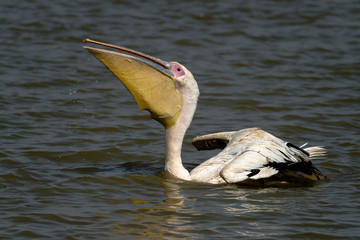 Pélican blanc, .Pelecanus onocrotalus, Great White Pelican