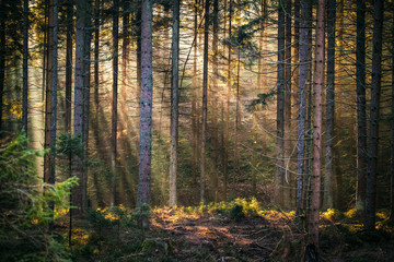 Sunbeams in forest morning
