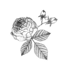 Hand drawn rose vector. Beautiful black and white bouquet rose and leaves.