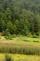 bosque con sembradìo de maiz milpa