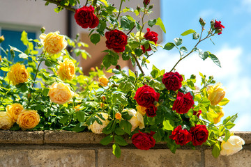 blossoming red rose bush against a blue sky background. Space for text.