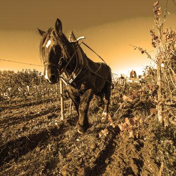 cheval de trait et labour de la vigne