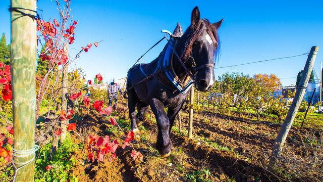 cheval de trait et labour