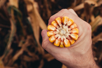 Farmer holding corn on the cob broken in half