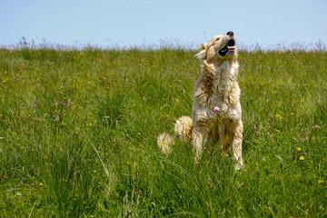 Dog in grass raising head