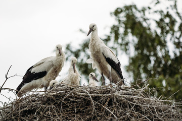 Storks in a nest located on a tree