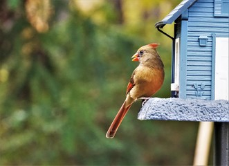 A single female cardinal bird is perching on the blue feeder enjoy eating and watching on the soft focus green garden background, Autumn  in Georgia USA.