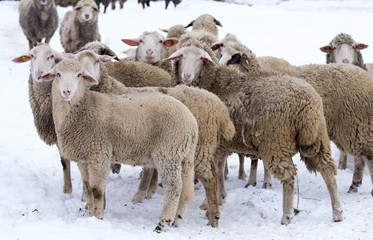 Sheep herd on snow