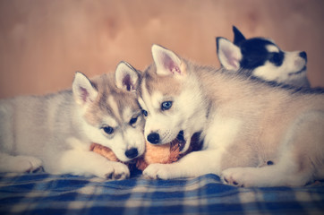 Siberian husky puppies purebred playing together with soft toy. Toned Image.