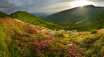 Landscape of summer mountains with pink rhododendron Fototapete