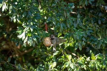 A sparrow eating seeds from a bird bell.