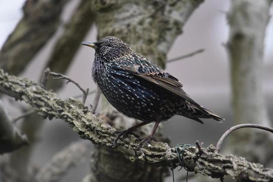 Starling bird up close