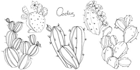 Vector Cactus. Floral botanical flower. Black and white engraved ink art. Isolated cacti illustration element.