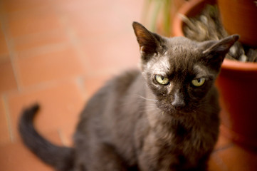 Black cat of 17 years with diabetes