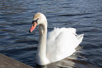 Wunderschöner Schwan schwimmt im See