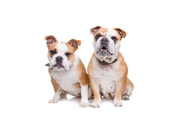 two english bulldogs