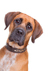 mixed breed dog from a boxer and a labrador