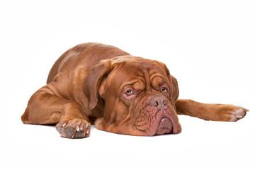 French Mastiff dog