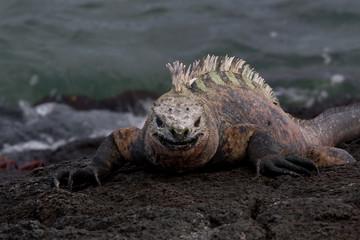 Marine Iguana sunning on the rocks on the island of Fernandina, Galapagos Islands