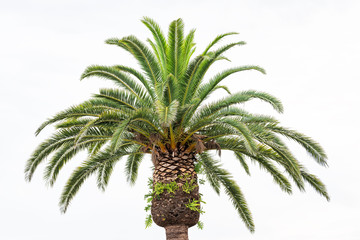 Colorful green bright palm tree top, treetop leaves isolated against white sky in Venice, Florida during sunny day closeup Wall mural