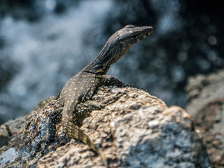 Little Cub of Monitor Lizard on the stone near a waterfall