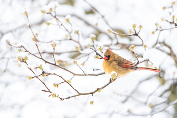 Side closeup of fluffed, puffed up orange, red female cardinal bird, looking, perched on sakura, cherry tree branch, covered in falling snow with buds, heavy snowing, snowstorm, storm, Virginia