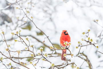 Closeup of fluffed, puffed up orange, red male cardinal bird, looking up, perched on sakura, cherry tree branch, covered in falling snow with buds, heavy snowing, cold snowstorm, storm, Virginia