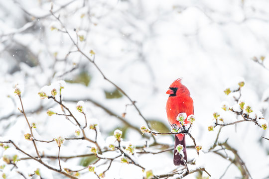 Closeup of fluffed, puffed up red male cardinal bird, looking, perched on sakura, cherry tree branch, covered in falling snow with buds, heavy snowing, cold snowstorm, storm, Virginia