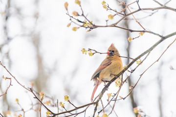 Side closeup of fluffed feathers, puffed up orange, red female cardinal bird, looking, perched on sakura, cherry tree branch, covered in falling snow, buds, heavy snowing, snowstorm, storm, Virginia