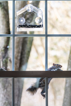 Hungry, smart, intelligent squirrel climbing on window screen mesh to birdfeeder, empty bird feeder with sunflower seeds in cold winter sunny weather, Virginia