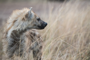Poster Hyena Hyena in the bush
