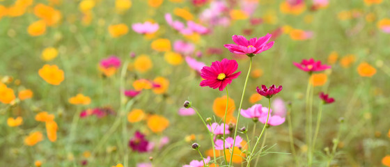 beautiful cosmos flowers in the garden