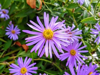 Pale purple aster