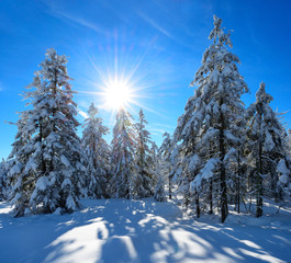 Untouched Winter Landscape, Spruce Tree Forest Covered by Snow, bright sunshine, blue sky