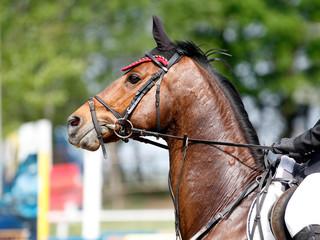 Sport horse portrait during dressage competition
