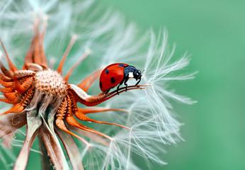 Fotobehang Macrofotografie Beautiful Ladybug sitting on flower in a summer garden