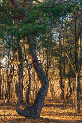 Woodland landscape - beautiful pine in the forest