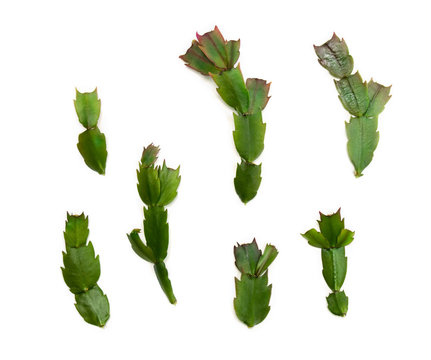 Leaves cactuses (Schlumbergera Truncata, common names: Christmas cactus, Thanksgiving cactus) on a white background. Top view, flat lay