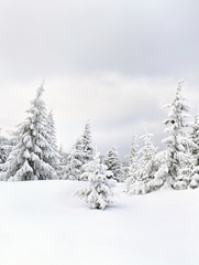 Winter landscape of mountains in fir forest and glade in snow