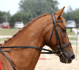 Sport horse portrait during dressage competition